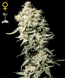 White Rhino Feminizada (5 Unidades) GREEN HOUSE SEEDS