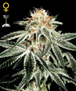 White Widow Feminizada (10 Unidades) GREEN HOUSE SEEDS