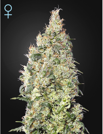 Great White Shark CBD  Feminizada (3 Unidades)  Green House Seeds