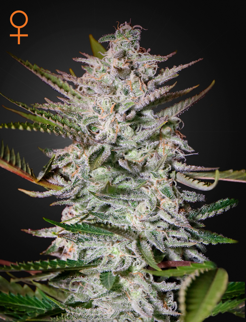 Holy Punch  ()  Green House Seeds
