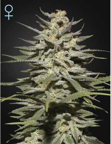 Super Lemon Haze CBD  Feminizada (3 Unidades)  Green House Seeds
