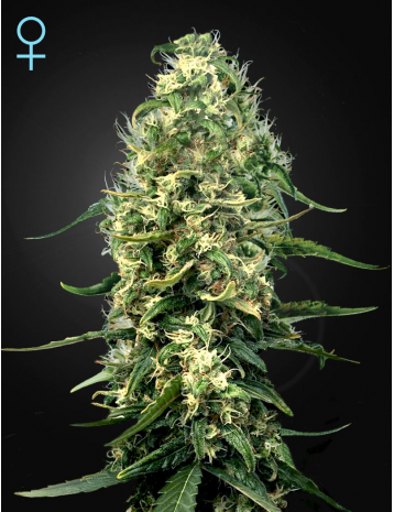 Super Silver Haze CBD  Feminizada (3 Unidades)  Green House Seeds