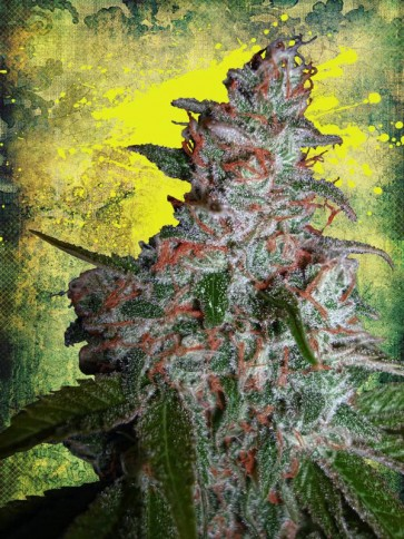 Northern Lights Feminizada (5  Unidades) MINISTRY OF CANNABIS