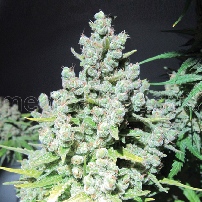 Malakoff Feminizada (10 Unidades) MEDICAL SEEDS