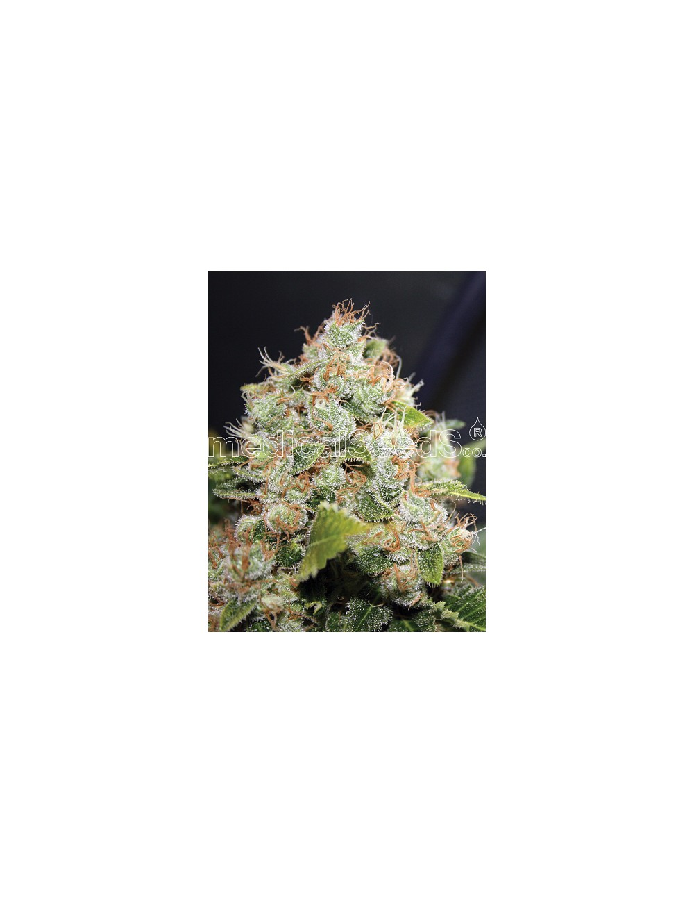 Sour Diesel  Feminizada (3 Unidades) MEDICAL SEEDS