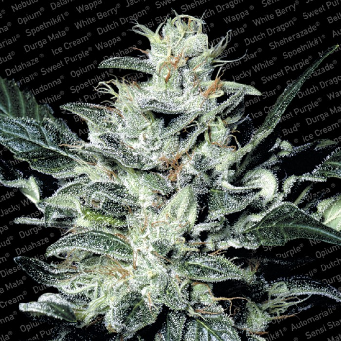 Sensi Star Regulares (10 Unidades) PARADISE SEEDS
