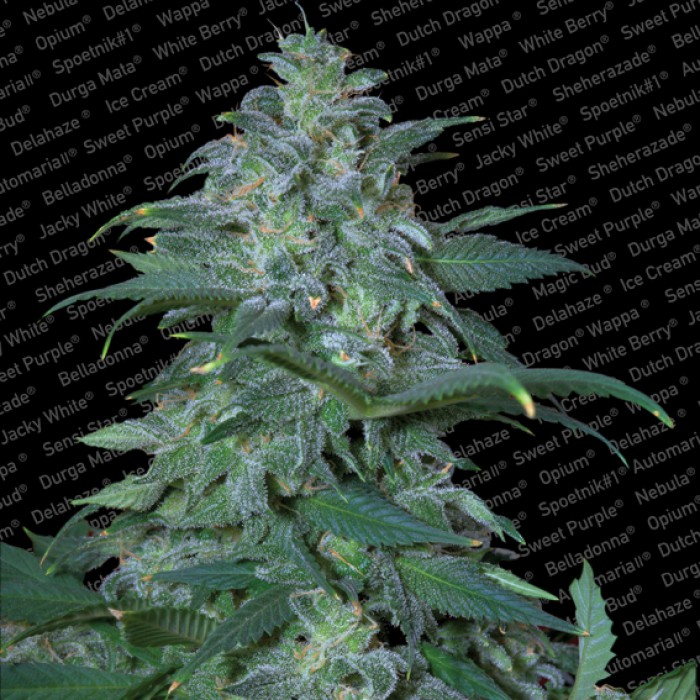 Magic Bud Feminizada (3 Unidades) PARADISE SEEDS