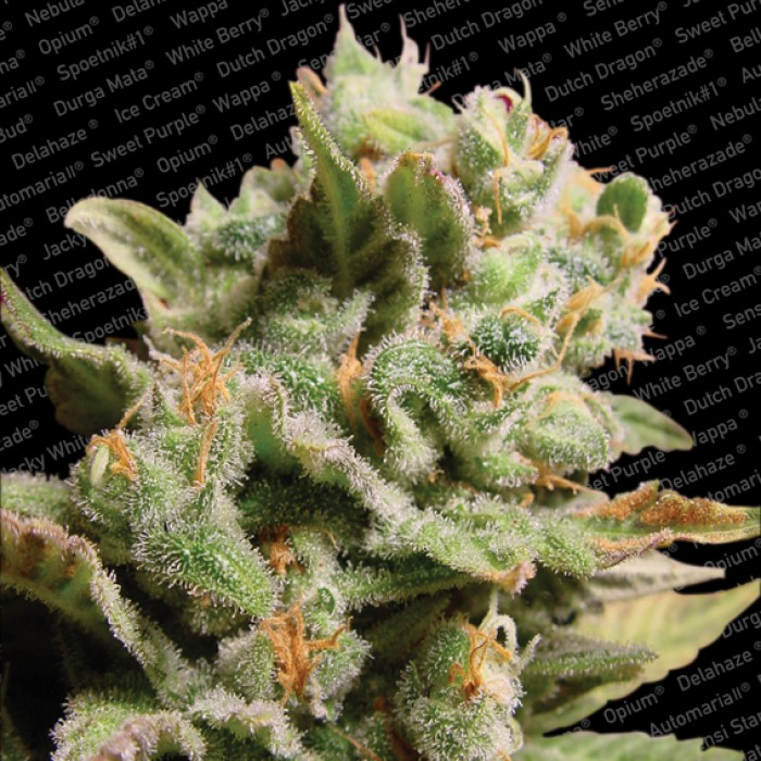 Dutch Dragon Feminizada (5 Unidades) PARADISE SEEDS