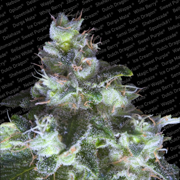 Original White Widow Feminizada (5 Unidades) PARADISE SEEDS