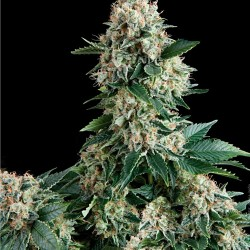 Auto New York City Auto Florecientes (1 Unidades) PYRAMID SEEDS