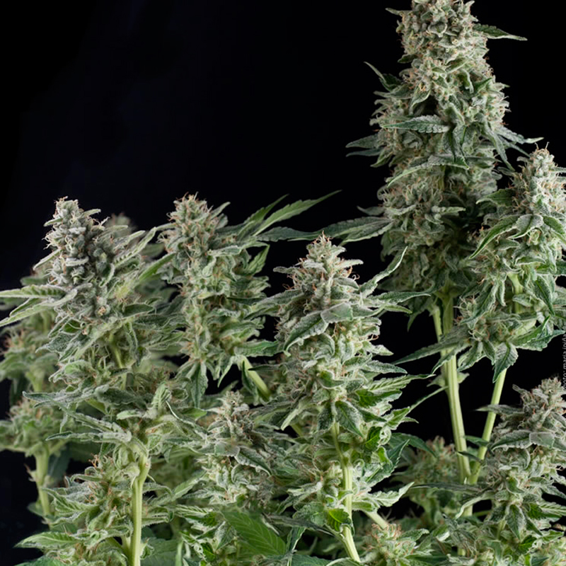 CBD Northern Light  Feminizada (3 Unidades) PYRAMID SEEDS