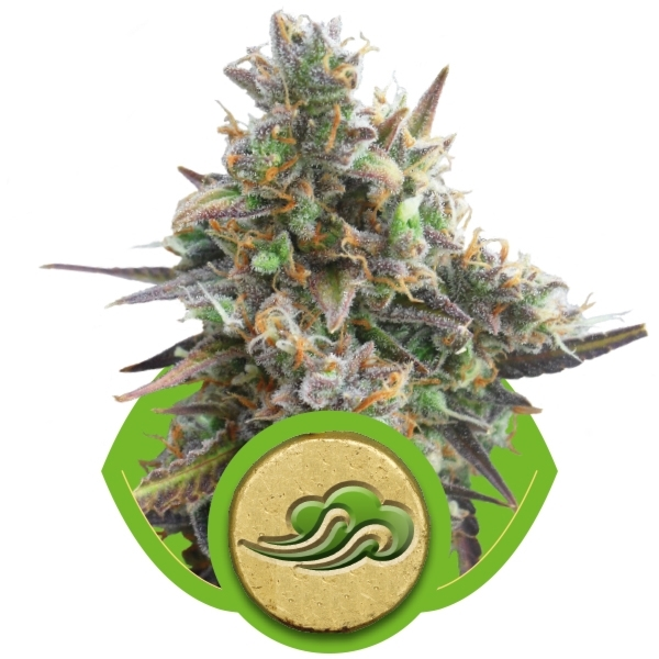 Royal Bluematic Auto Florecientes (3  Unidades) ROYAL QUEEN SEEDS