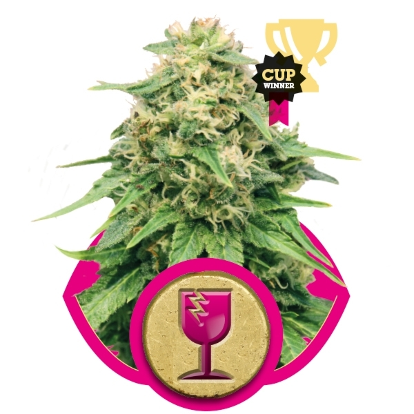 Critical Feminizada (3  Unidades) ROYAL QUEEN SEEDS