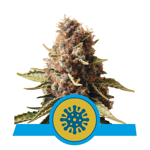 Euphoria CBD  Feminizada (3  Unidades) ROYAL QUEEN SEEDS