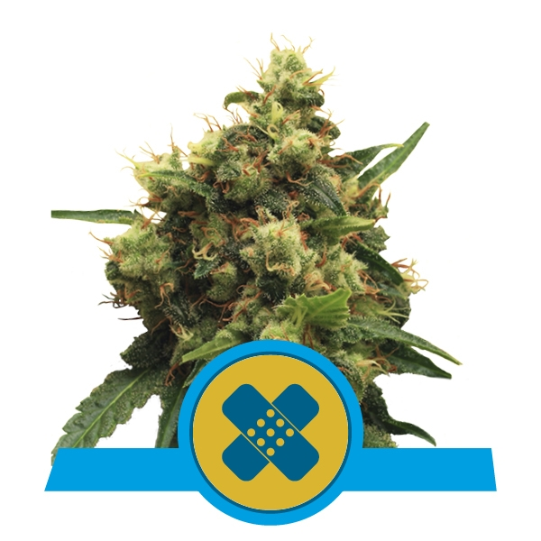 Painkiller XL CBD  Feminizada (3  Unidades) ROYAL QUEEN SEEDS
