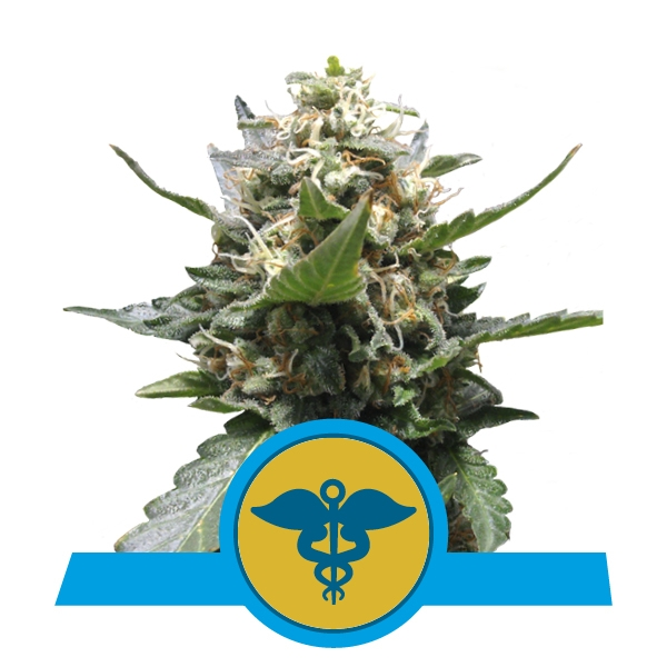 Royal Medic CBD  Feminizada (3  Unidades) ROYAL QUEEN SEEDS