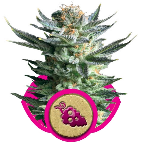 Fruit Spirit Feminizada (3  Unidades) ROYAL QUEEN SEEDS