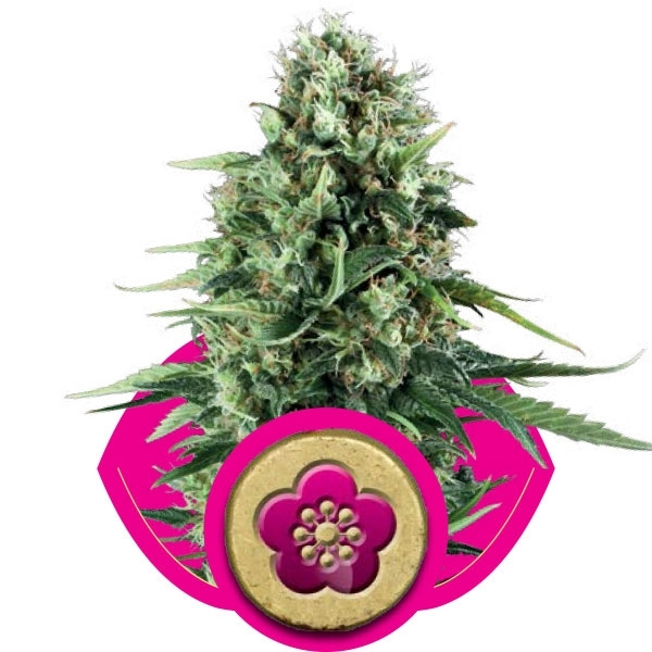 Power Flower Feminizada (3  Unidades) ROYAL QUEEN SEEDS