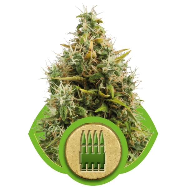 Royal Ak Automatic Auto Florecientes (3  Unidades) ROYAL QUEEN SEEDS