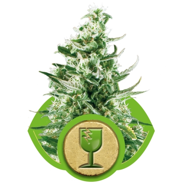 Royal Critical Automatic Auto Florecientes (3  Unidades) ROYAL QUEEN SEEDS