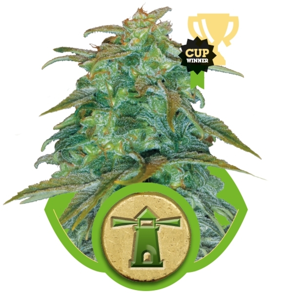 Royal Haze Automatic Auto Florecientes (3  Unidades) ROYAL QUEEN SEEDS
