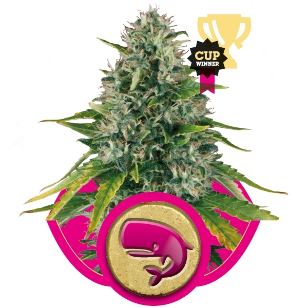 Royal Moby Feminizada (3  Unidades) ROYAL QUEEN SEEDS