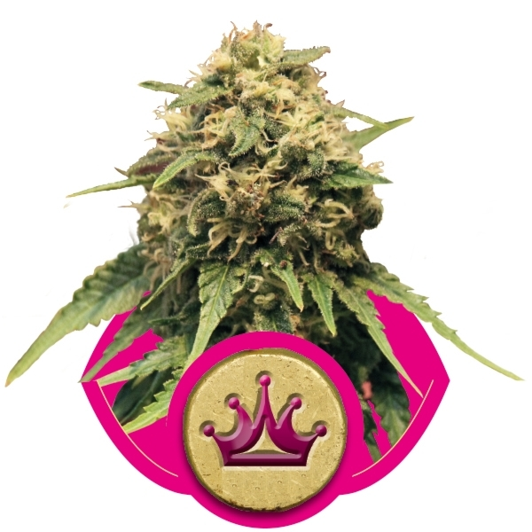 Special Queen #1 Feminizada (3  Unidades) ROYAL QUEEN SEEDS