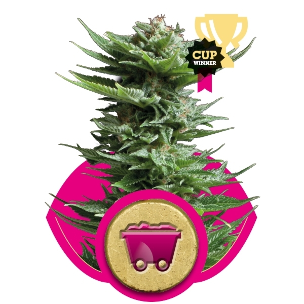 Shining Silver Haze Feminizada (3  Unidades) ROYAL QUEEN SEEDS