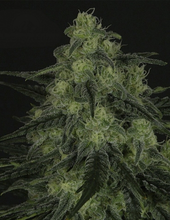 Black Valley Feminizada (1 Unidades) RIPPERSEEDS