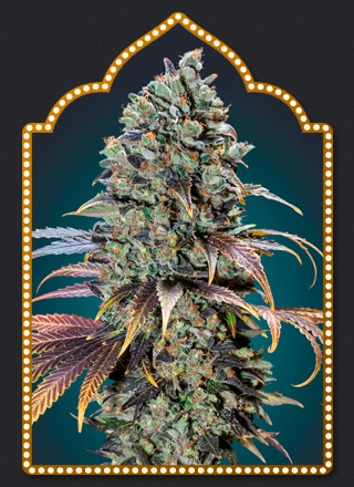 Chocolate Cream  Feminizada (5 Unidades) 50 - 60 dias. 00 SEEDS
