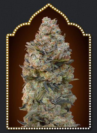 Chocolate Skunk  Feminizada (5 Unidades) 50 - 55 dias. 00 SEEDS
