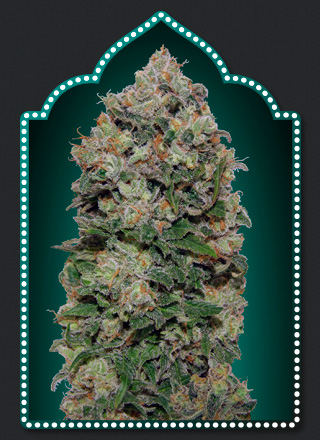 Northern Lights  Feminizada (5 Unidades) 50 - 55 dias. 00 SEEDS