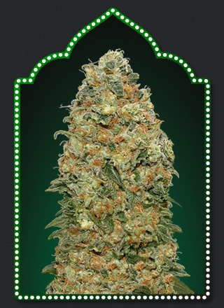 White Widow  Feminizada (5 Unidades) 50 - 55 dias. 00 SEEDS