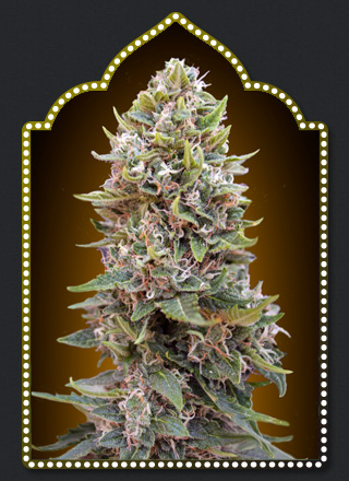 Auto Cheese Berry  Auto Floreciente (5 Unidades) 65 - 70 dias. 00 SEEDS