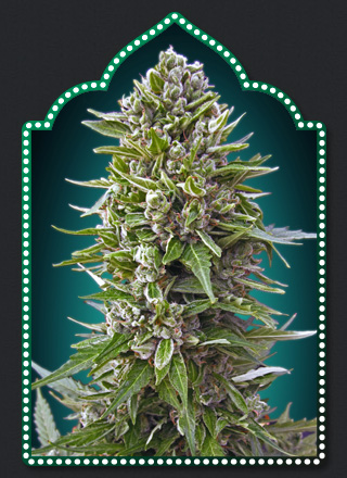 Auto Northern Lights  Auto Floreciente (5 Unidades) 80 - 90 dias. 00 SEEDS