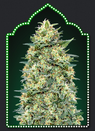 Auto White Widow  Auto Floreciente (5 Unidades) 70 - 80 dias. 00 SEEDS