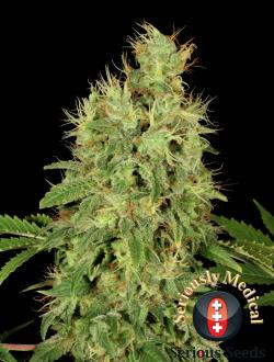 CBD Chronic  Feminizada (6 Unidades) SERIOUS SEEDS