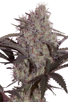 Jack Widow Feminizada (5 Unidades) SEEDMAKERS