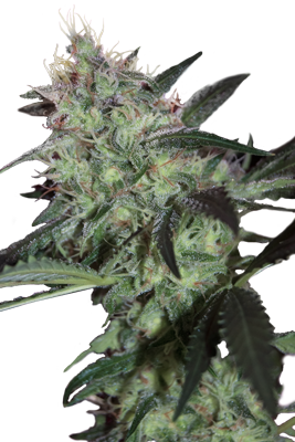 Super Diesel Feminizada (5 Unidades) SEEDMAKERS
