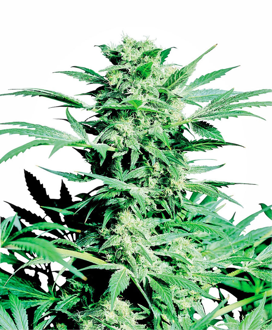 Shiva Skunk Regulares (10 Unidades) SENSI SEEDS