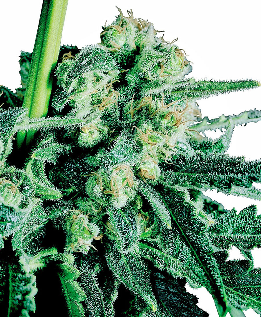 Sensi Skunk Regulares (10 Unidades) SENSI SEEDS