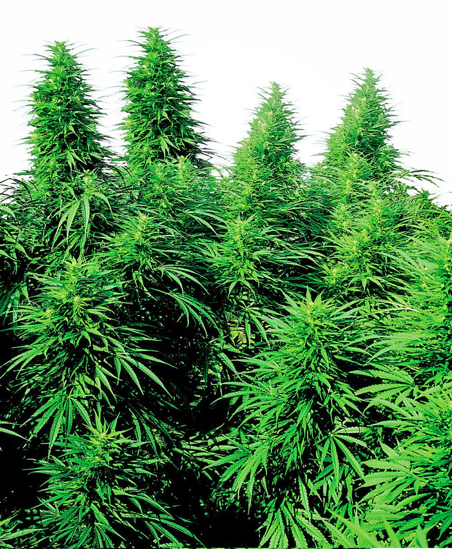 Ruderalis Skunk Regulares (10 Unidades) SENSI SEEDS