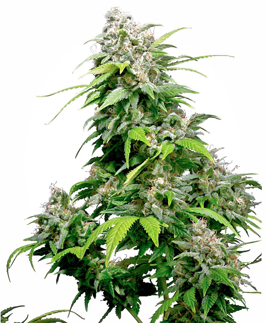 California Indica  Regulares (10 Unidades) SENSI SEEDS