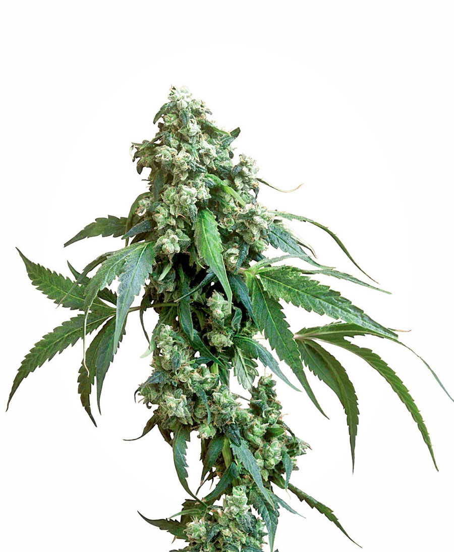 Jack Flash Regulares (10 Unidades) SENSI SEEDS