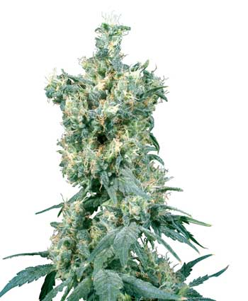 American Dream  Regulares (10 Unidades) SENSI SEEDS
