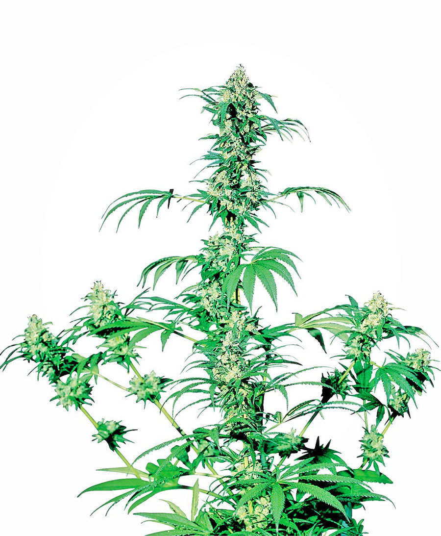 Early Girl Regulares (10 Unidades) SENSI SEEDS