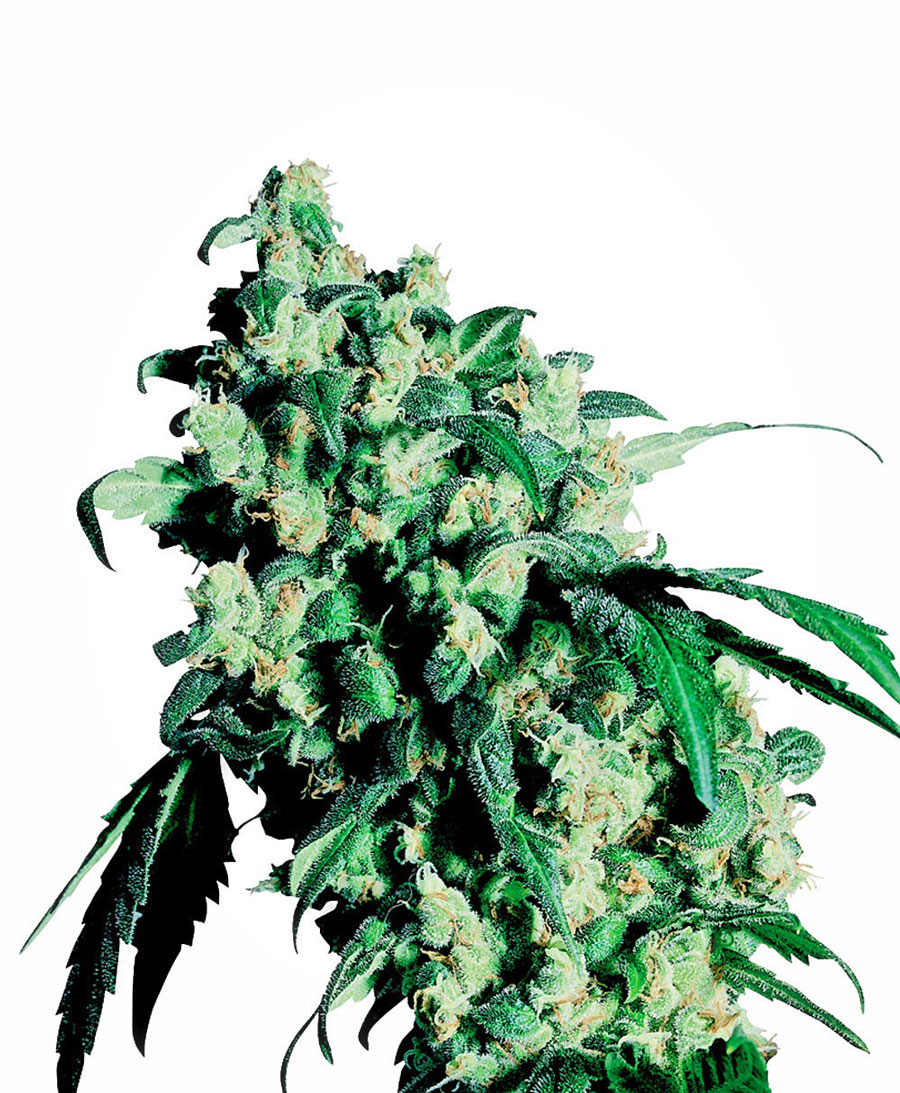 Super Skunk Regulares (10 Unidades) SENSI SEEDS