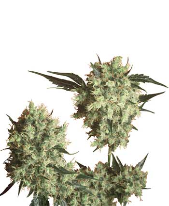 Marley's Collie Regulares (10 Unidades) SENSI SEEDS