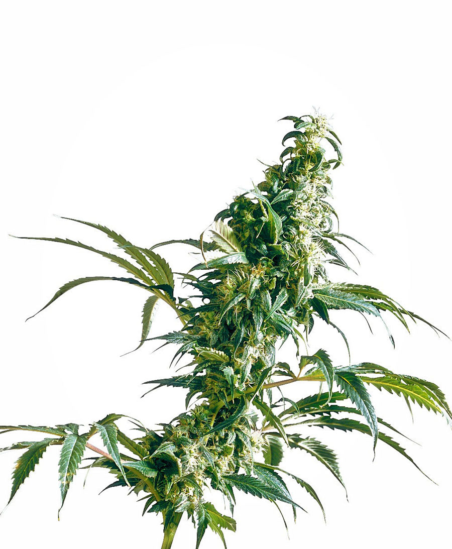 Mexican Sativa Regulares (10 Unidades) SENSI SEEDS