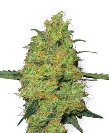 Master Kush Regulares (10 Unidades) WHITE LABEL